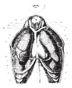 Cutting the chest area for a show available lungs, pleura and pe Stock Illustration
