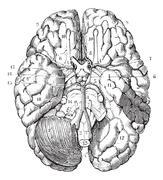 Base of the brain, vintage engraving. Stock Illustration
