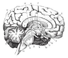 Middle and anterior-posterior section of the brain, vintage engr Stock Illustration