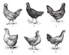 Hens, 1. Houdan chicken. 2. Hen the Arrow. 3. Hen Crevecoeur. 4. Cochin hen. Stock Illustration