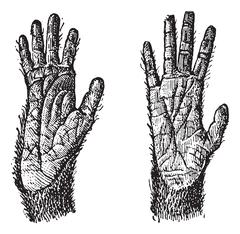 Two hands of Quadrumana primates vintage engraving Stock Illustration