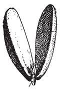 Radicle of Almond vintage engraving Stock Illustration