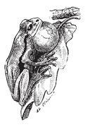 Frog, vintage engraving Piirros