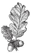Acorn or Oak nut with leaves, vintage engraving. Stock Illustration