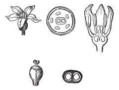Rubiaceae or Coffee family, vintage engraving. Stock Illustration
