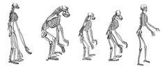The comparison of greatest apes skeletons with human skeleton vintage engravi Stock Illustration