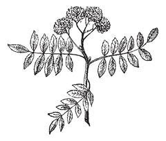 Rowans or Mountain-ashes, vintage engraving. Stock Illustration
