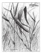 Nosed Grasshopper or Acrida hungarica, vintage engraving Stock Illustration