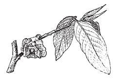 Common Pawpaw or Asimina triloba, vintage engraving Stock Illustration