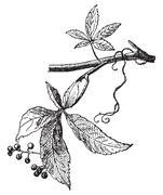 Vine Virgin, vintage engraving. Stock Illustration