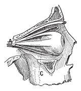 Nerves of the Human Eye, vintage engraving Stock Illustration
