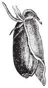 Olive fruit, vintage engraving. Stock Illustration