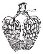 Ovarian insect, vintage engraving. Stock Illustration