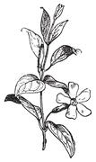 Periwinkle or Vinca minor, vintage engraving. Stock Illustration