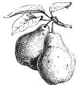 Pear, vintage engraving. Stock Illustration