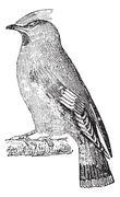 Bohemian waxwing (Bombycilla garrulus), vintage engraving. Stock Illustration