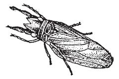 Caddisfly or Trichoptera, vintage engraving Stock Illustration