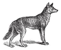 Gray Wolf or Canis lupus, vintage engraving Piirros