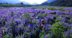Aerial shot of horseback riding betwwen flowers in Patagonia Stock Footage