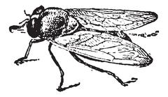 Common Fruit Fly or Drosophila melanogaster, vintage engraving Stock Illustration