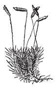 Common Haircap Moss or Polytrichum commune, vintage engraving Stock Illustration
