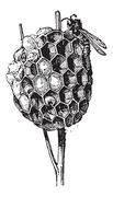 Nest or Hive, of Paper Wasp or Polistes sp., vintage engraving Stock Illustration