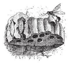 Nest of the Sphecid Wasp or Sceliphron spirifex, vintage engraving Stock Illustration