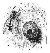 Nest of the Potter Wasp or Eumenes sp., vintage engraving Stock Illustration
