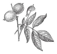 Walnut or Juglans regia, vintage engraving Stock Illustration