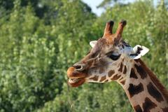 Detail of giraffe head, eating branch, open mouth, teeth visible, defocused g Stock Photos