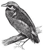 Wood duck, Carolina duck or Aix sponsa engraving Stock Illustration
