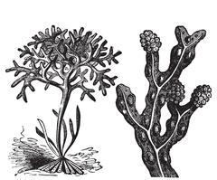 Chondrus crispus , irish moss or Fucus vesiculosus, bladderwrack engraving Stock Illustration
