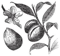 The Almond tree or prunus dulcis vintage engraving. Fruit, flower, leaf and a Stock Illustration
