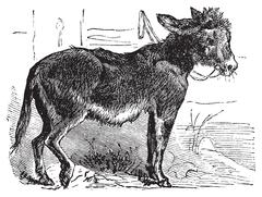 Domesticated donkey, ass, asinus vulgaris or Equus africanus asinus old vinta Piirros
