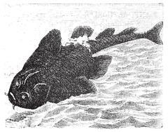 Squatina angelus or Angel shark old engraving. Stock Illustration
