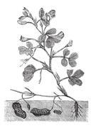 Peanut or Groundnut vintage engraving Stock Illustration