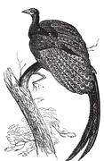 Argus giganteus or Great pheasant, common specie of pheasant old engraving. Stock Illustration