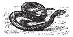 Vipera Aspis or European Viper. Vintage engraving. Stock Illustration