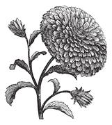 Double China Aster or Callistephus chinensis vintage engraving Stock Illustration