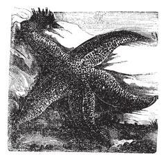 Asterias rubens or Common starfish. Vintage engraving. Stock Illustration