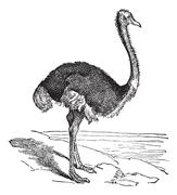 The Ostrich or Struthio camelus. Vintage engraving. Stock Illustration