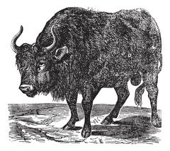 The American bison or American buffalo. Vintage engraving. Piirros