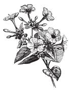 Four o' Clock Flower vintage engraving Stock Illustration