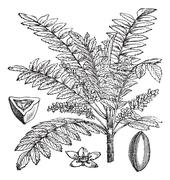 Indian Frankincense or Salai or Boswellia serrata vintage engraving Stock Illustration