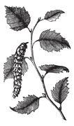 Betula papyrifera or Paper Birch, leaves, vintage engraving. Stock Illustration