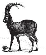 Alpine Ibex or Capra ibex, goat, vintage engraving. Stock Illustration