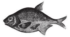 Common bream or Abramis brama, freshwater, fish , vintage engraving. Stock Illustration