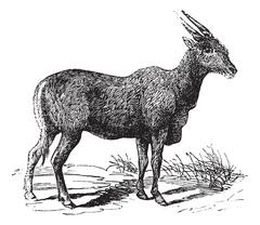 Oreas Canna, Eland or South African antelope vintage engraving Stock Illustration