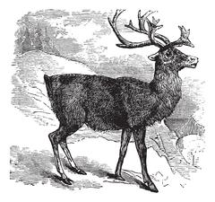 Caribou or Reindeer vintage engraving Stock Illustration