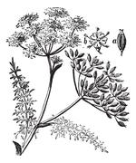 Caraway or Carum carvi vintage engraving Stock Illustration